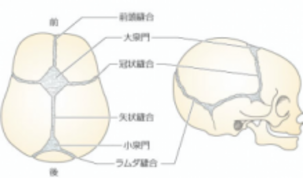 頭蓋骨の概要を簡単解説